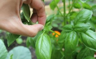 Picking Basil